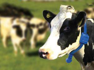 Запуск коровы — основа благополучного отела