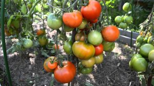 Особенности сорта томатов (помидоров) «Дубрава»