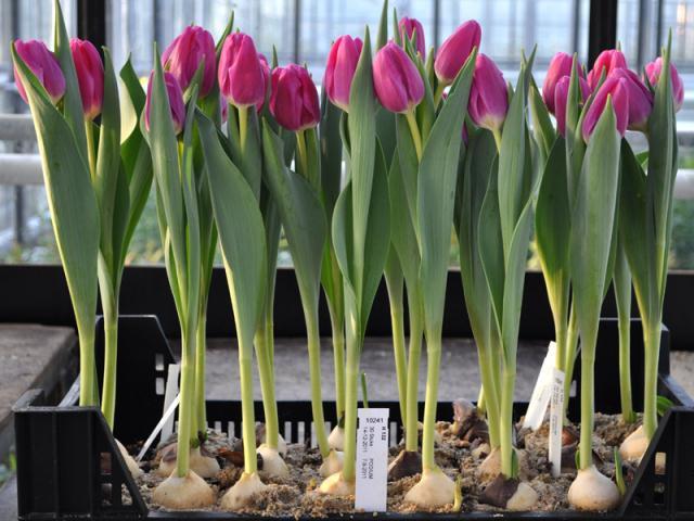Маленькие секреты удачного выращивания тюльпанов