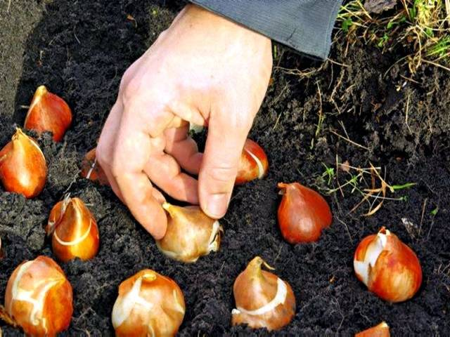 Посадка луковиц тюльпанов в грунт осенью