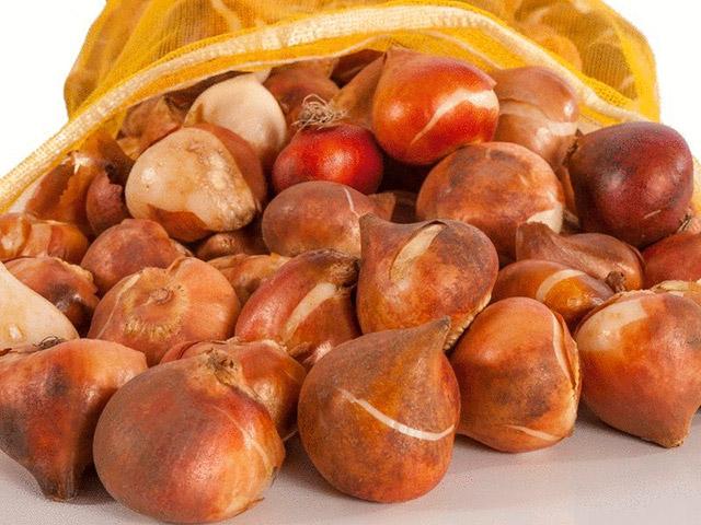 Сортировка луковиц тюльпанов простая и по разборкам