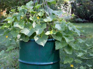 Выращивание различных сортов огурцов в бочке