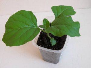 Как правильно выращивать рассаду баклажан