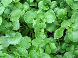 Кресс-салат: выращивание, уход и описание