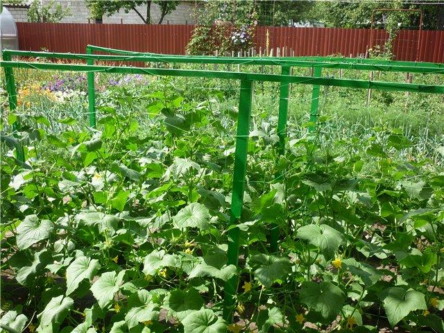 Выращиваем отличный урожай огурцов в открытом грунте