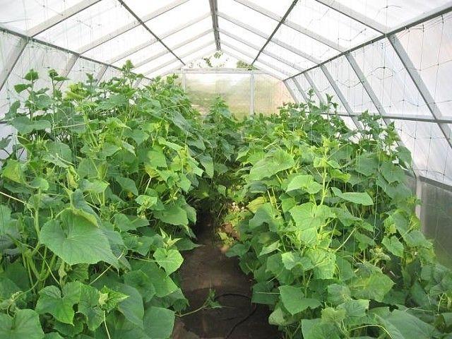 Как повысить урожайность огурцов в теплице и грунте