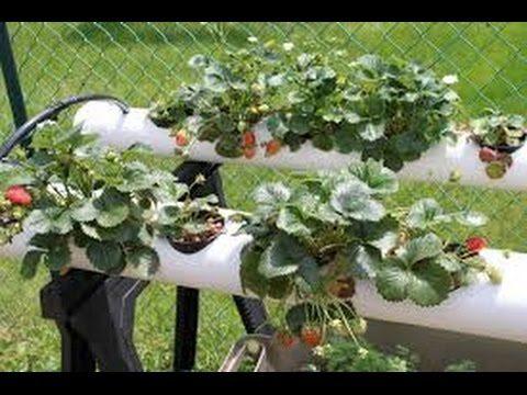 Выращивание земляники в трубах ПВХ