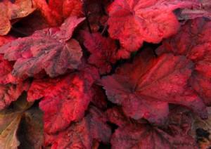 Гейхера Autumn Leaves