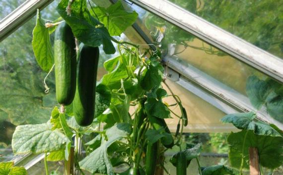Выращивание тепличных сортов и гибридов