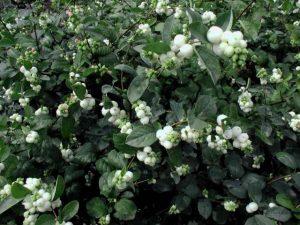 Снежноягодник белый : посадка, уход, выращивание, фото