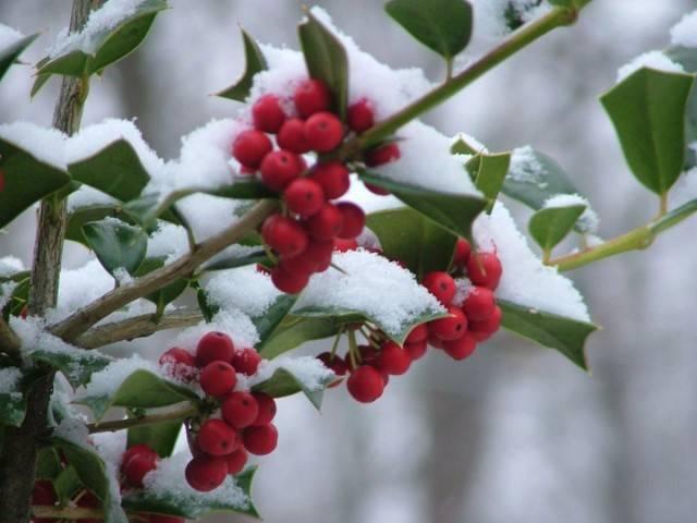 Снежноягодник красный