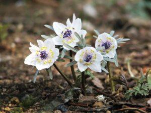 Эрантис — растение семейства лютиковых