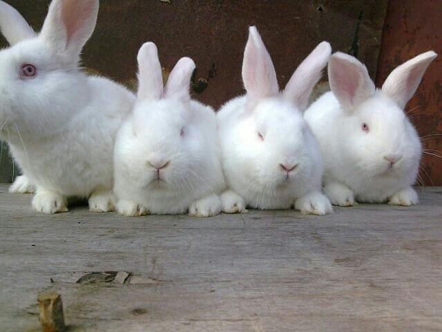 Разведение кроликов новозеландской породы
