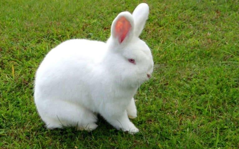 Новозеландец кролик