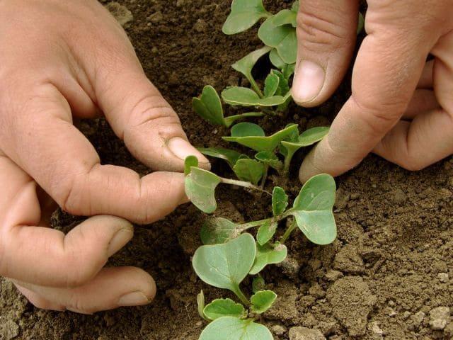 Прореживание посевов. Как сделать это правильно.