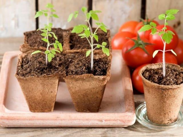 Правила выращивания и ухода за томатами в открытом грунте