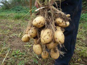 Советы при выращивании картофеля