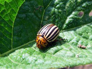 Вредители картофеля: колорадский жук