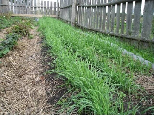 Сидераты - растения для улучшения почвы