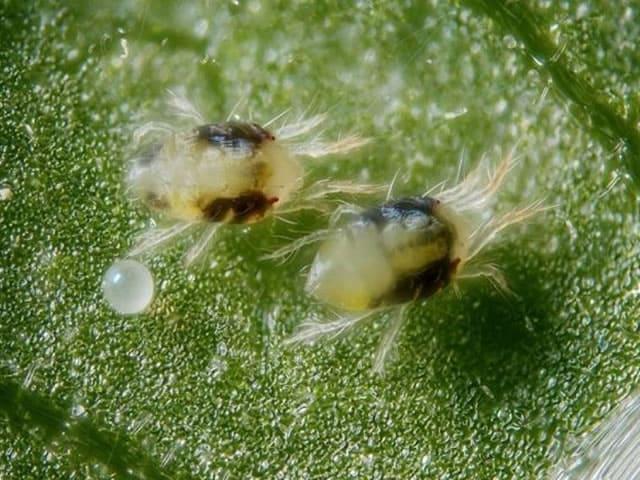 Паутинный клещ под микроскопотом