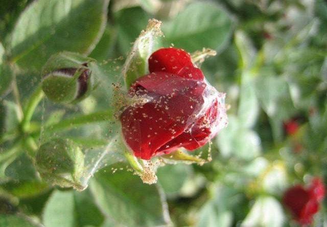 Паутинный клещ на комнатных растениях: способы борьбы и меры профилактики