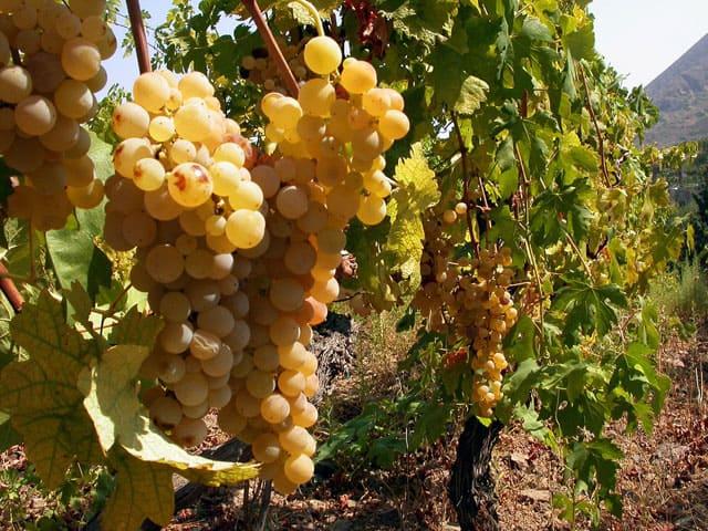 Как удачно выбрать хороший сорт винограда