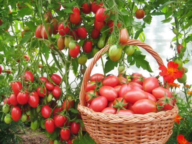 Как вырастить томаты из семян и рассадным способом