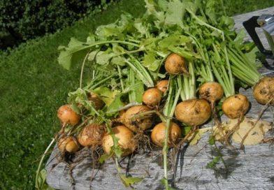 Выращиваем репу на огородном участке