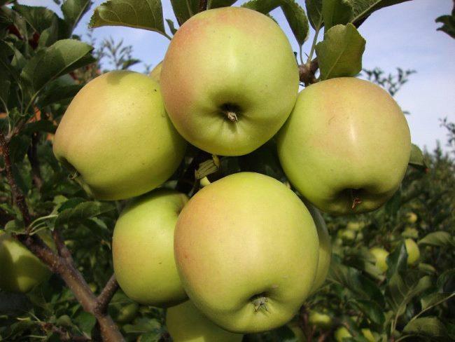 Дачные яблоки
