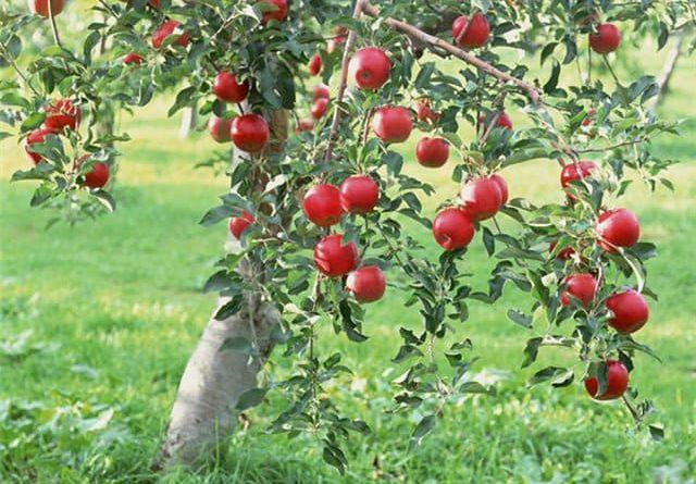 Полезные свойства яблок для здоровья и красоты