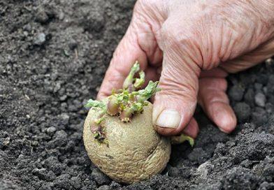 Ранняя посадка картофеля и ее особенности
