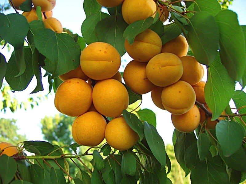 Как правильно вырастить абрикос на даче