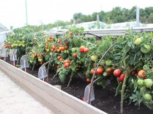 Как выращивать ранние сорта помидор