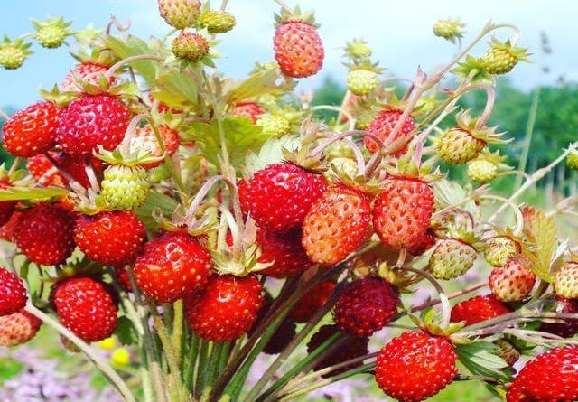 Земляника садовая: виды, советы по посадке, полезные свойства