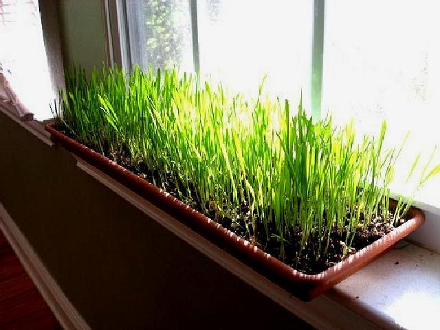 Какую зелень и какие пряные травы можно вырастить в домашних условиях