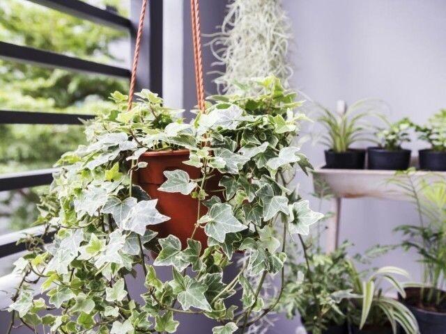 Вьющиеся многолетние растения для комнатного выращивания