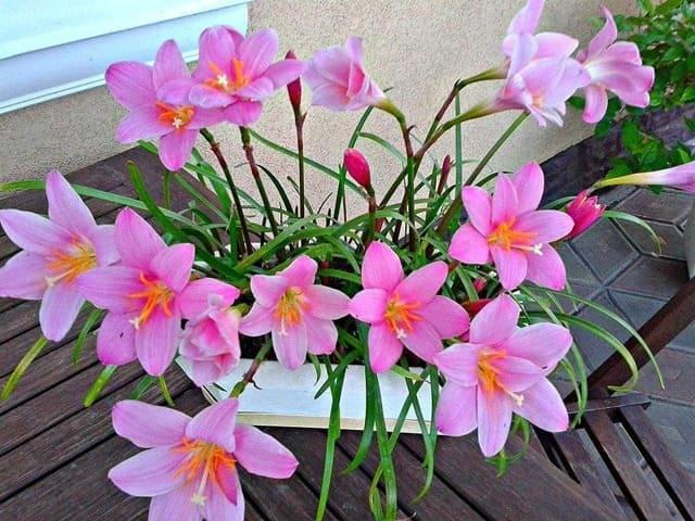 """Цветок """"Выскочка"""" (Зефирантес): особенности растения"""