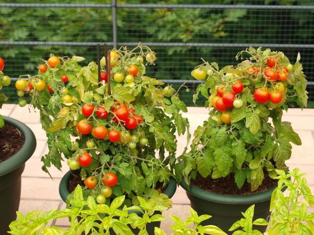 Выращивание помидор на балконе: советы и хитрости