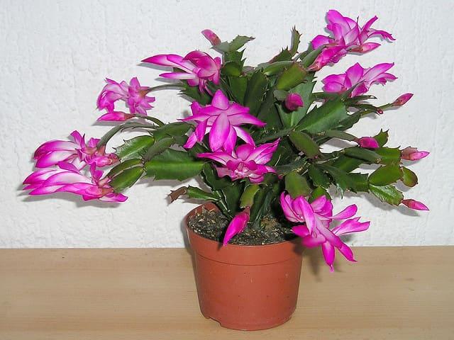 Рождественский кактус (декабрист): особенности выращивания и ухода