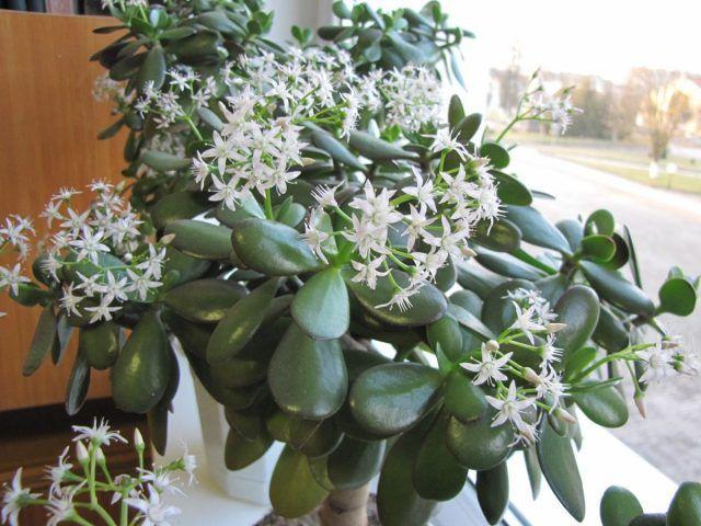 Толстянка овальная: фото и особенности растения
