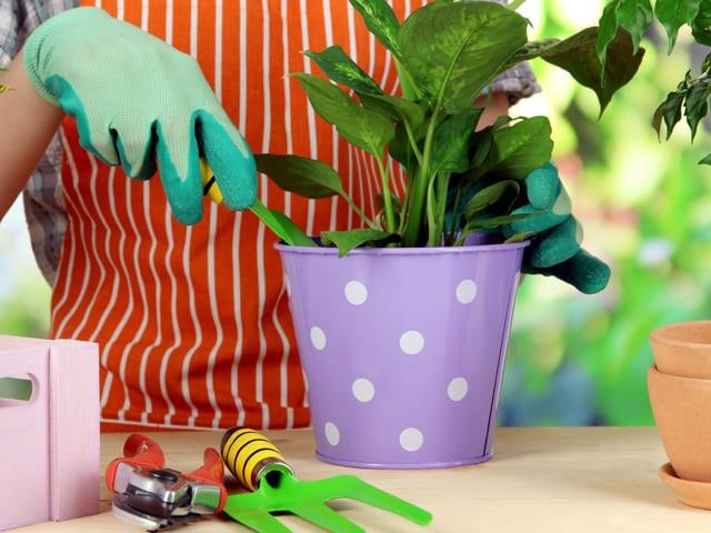 Весенние работы в комнатном цветоводстве: пересадка, обрезка, прищипка