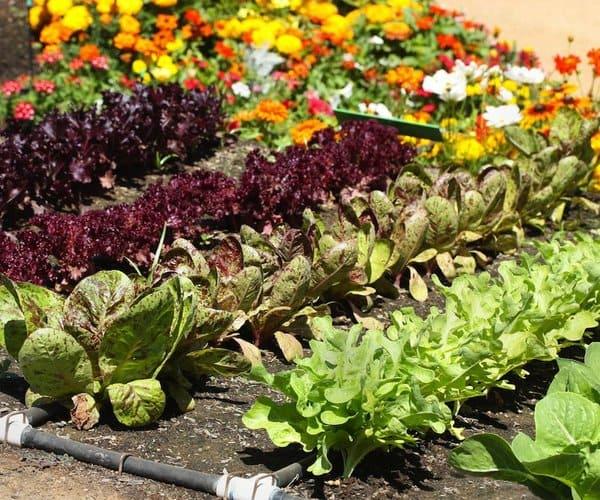 Польза от совместного выращивания овощей и цветов на грядках