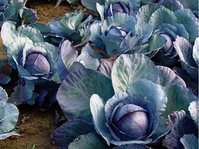 Агротехника выращивания краснокочанной капусты