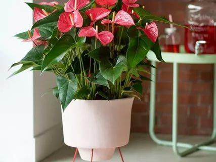 Антуриум (anthurium лат.): условия содержания, уход, размножение и пересадка.