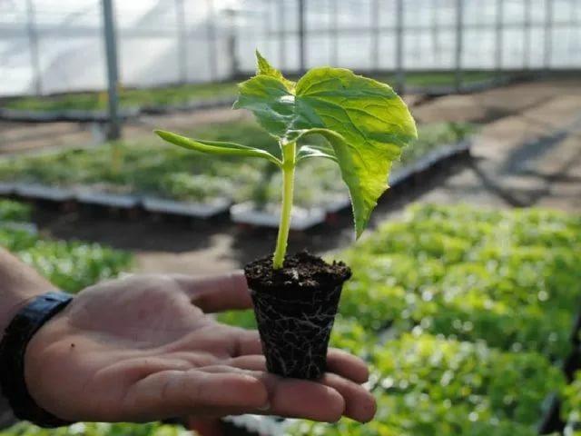 Выращивание рассады огурцов и уход за ней