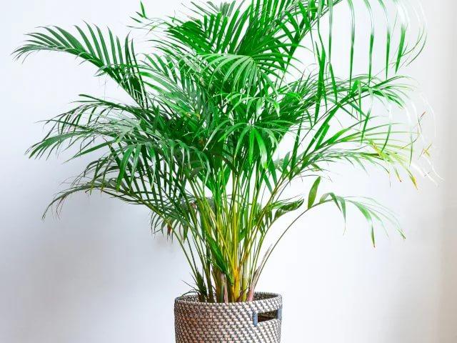 Уход за пальмами в домашних условиях