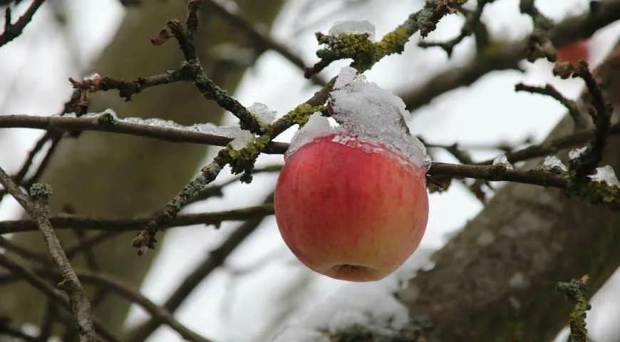 Подмерзание плодовых деревьев