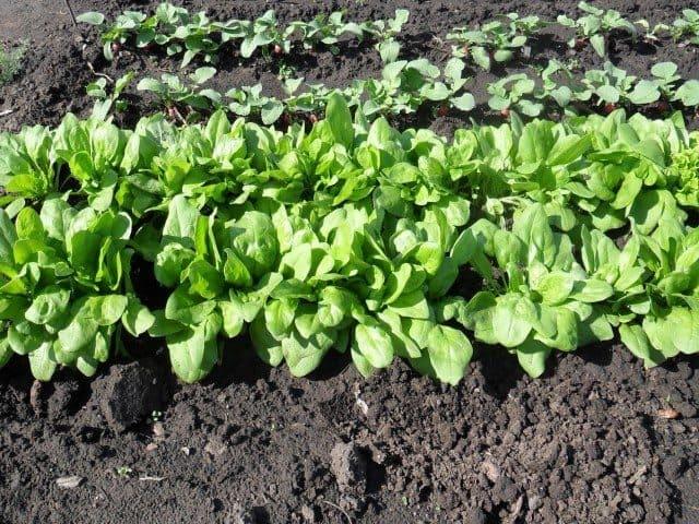 Правильные условия выращивания шпината на дачном участке
