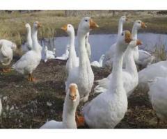 Продаю Линдовских гусей
