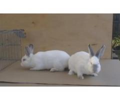 Продам семью калифорнийских кроликов